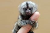 Самая маленькая обезьяна